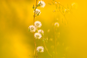 秋色に染まるアキノノゲシの綿毛の写真素材 [FYI00134448]