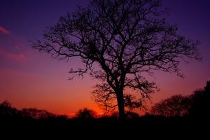 夕焼けに浮かぶクヌギのシルエットの写真素材 [FYI00134450]