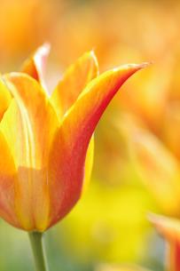 春色チューリップの写真素材 [FYI00134493]