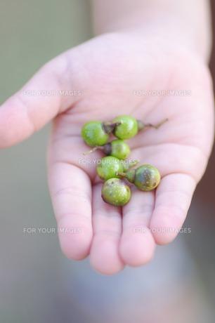 手のひらの上の木の実の素材 [FYI00134594]