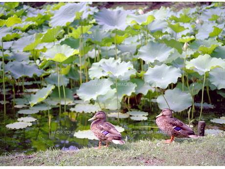 カモと蓮の葉の写真素材 [FYI00134636]