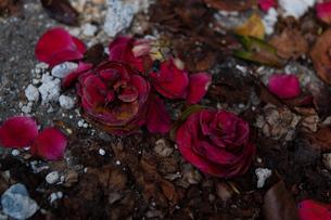 枯れた赤い花の写真素材 [FYI00134763]