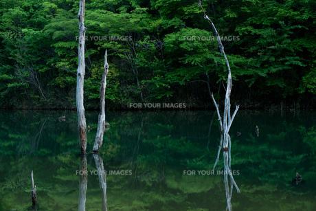 海上池の立ち枯れた木の素材 [FYI00134773]
