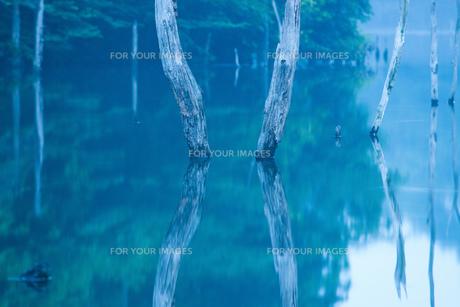 立ち枯れた木、湖畔に立つの素材 [FYI00134777]