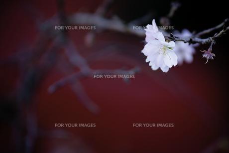紅白の素材 [FYI00134779]