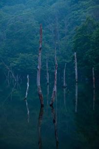 森の中の立ち枯れた木々の素材 [FYI00134782]