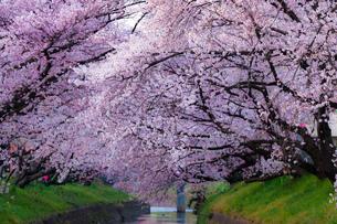 五条川桜の素材 [FYI00134824]