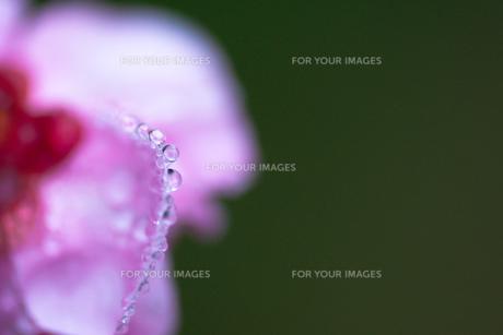 水玉ネックレスの写真素材 [FYI00134835]