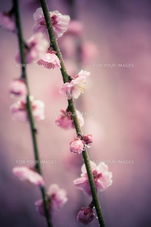梅の記憶の素材 [FYI00134839]