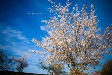 青空へのびる桜の素材 [FYI00134863]