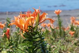 海辺に咲く自生のスカシユリ2の写真素材 [FYI00134893]