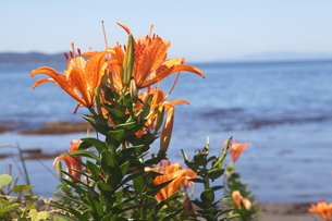 海辺に咲く自生のスカシユリ1の写真素材 [FYI00134895]