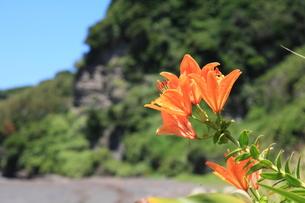 海辺に咲く自生のスカシユリ12の写真素材 [FYI00134899]