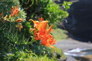 海辺に咲く自生のスカシユリ8の写真素材 [FYI00134911]