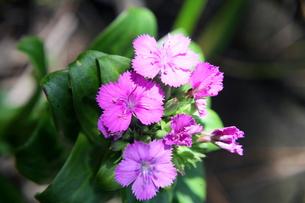 磯の岩場に咲くハマナデシコの写真素材 [FYI00134914]