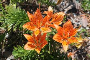 海辺に咲く自生のスカシユリ3の写真素材 [FYI00134916]
