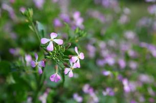 薄紫色のハマダイコンの花の写真素材 [FYI00134926]