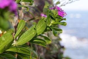磯の岩場に咲くハマナデシコの写真素材 [FYI00134928]