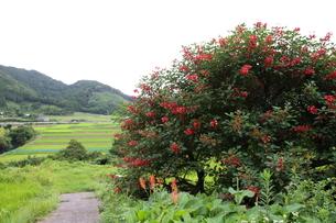 海紅豆の花と田園の写真素材 [FYI00134930]
