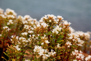 海岸に咲くハマボッスの写真素材 [FYI00134931]