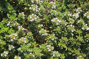 海岸に咲くハマボッスの写真素材 [FYI00134937]