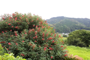 海紅豆の花と田園の写真素材 [FYI00134939]