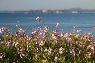 海辺に咲くハマダイコンの写真素材 [FYI00134940]
