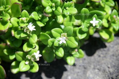ソナレムグラは4ミリ程の白い花を咲かせるの写真素材 [FYI00134941]