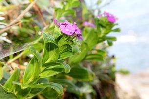 磯の岩場に咲くハマナデシコの写真素材 [FYI00134943]