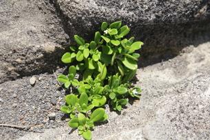 磯の岩の隙間に根付くソナレムグラの写真素材 [FYI00134944]