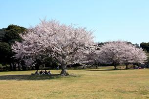 満開の桜と花見の人たちの写真素材 [FYI00135034]