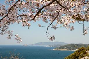 満開の桜と岬の展望の写真素材 [FYI00135040]