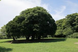 マテバシイの大木と広い日陰の写真素材 [FYI00135067]
