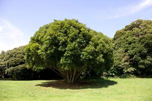 マテバシイの木と日陰の写真素材 [FYI00135076]
