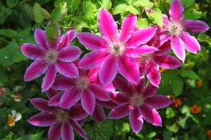 重なり合う鉄線の花の写真素材 [FYI00135099]
