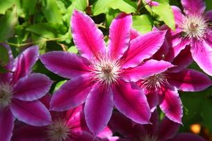 鉄線の花の写真素材 [FYI00135100]