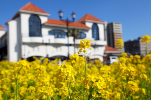 菜の花と白い建物の写真素材 [FYI00135101]