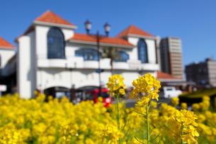 菜の花と白い建物の写真素材 [FYI00135111]