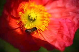 赤いポピーとミツバチの写真素材 [FYI00135137]
