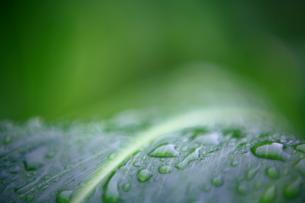 ジンジャーの若葉と水滴の写真素材 [FYI00135140]