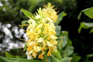 ジンジャーの黄色い花の写真素材 [FYI00135143]
