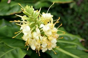 ジンジャーの花の写真素材 [FYI00135144]
