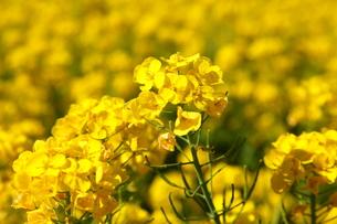 満開の菜の花の写真素材 [FYI00135145]