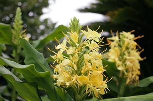ジンジャーの黄色い花の写真素材 [FYI00135146]