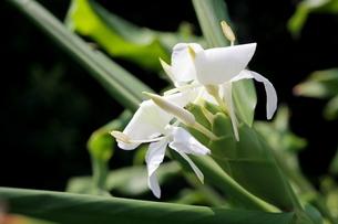 ジンジャーの白い花の写真素材 [FYI00135152]