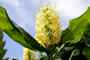 ジンジャーの黄色い花と空の写真素材 [FYI00135153]