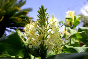 ジンジャーの黄色い花の写真素材 [FYI00135165]