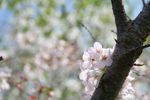 古木の幹に咲いた桜の写真素材 [FYI00135174]