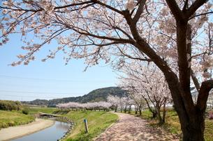 川沿いの桜並木と満開の桜の写真素材 [FYI00135202]