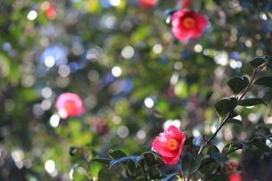 冬の日差しをバックに咲くヤブツバキの写真素材 [FYI00135226]